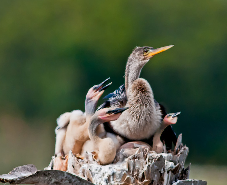 A mom Anhinga with her 3 chicks. The chick on the right looks a little under nourished to me.