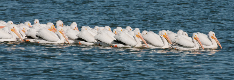 • American White Pelican<br /> • Heading towards shore in a straight line.