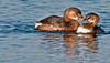 • Viera Wetlands<br /> • A pair of Pied-billed Grebes beak to beak<br /> • Nikon 500 mm lens