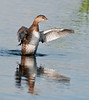 • Viera Wetlands<br /> • Pied-billed Grebe stretching its wings<br /> • Nikon 500 mm lens