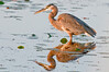 • Viera Wetlands<br /> • Great Blue Heron with its reflection<br /> • Nikon 500 mm lens