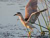 • Viera Wetlands<br /> • Black-crowned Night-Heron ready for take-0ff<br /> • Nikon 500 mm lens