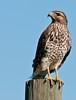 • Viera Wetlands<br /> • Juvenile, Red-shouldered Hawk<br /> • Nikon 70-200 mm lens with 1.4X Teleconverter