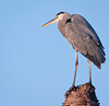• Viera Wetlands<br /> • Just a portrait of a Great Blue Heron in the morning sun<br /> • Nikon 500 mm lens