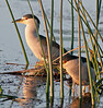 • Viera Wetlands<br /> • A pair of Black-crowned Night-Herons<br /> • Nikon 500 mm lens