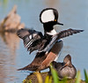 • Viera Wetlands<br /> • Hooded Merganser keeping its mate in the shade
