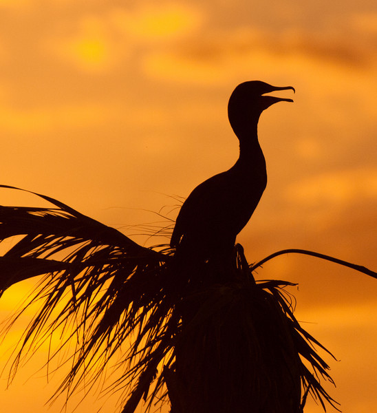 • Viera Wetlands<br /> • Double Crested Cormorant at sunset