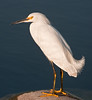 • Viera Wetlands<br /> • Snowy White Egret just posing for me