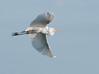 • Viera Wetlands<br /> • Great Egret in flight