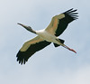 • Viera Wetlands<br /> • Wood Stork in flight