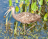 • Viera Wetlands<br /> • The Limpkin just got a snail for its snack