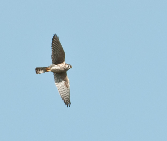 • Moccasin Island Tract<br /> • American Kestrel in flight