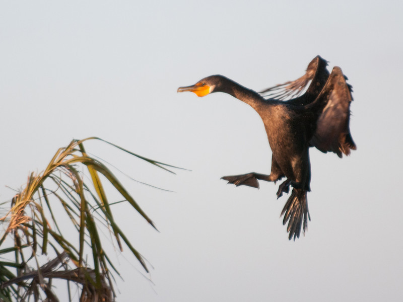 • Viera Wetlands<br /> • A Double Crested Cormorant coming in for a landing