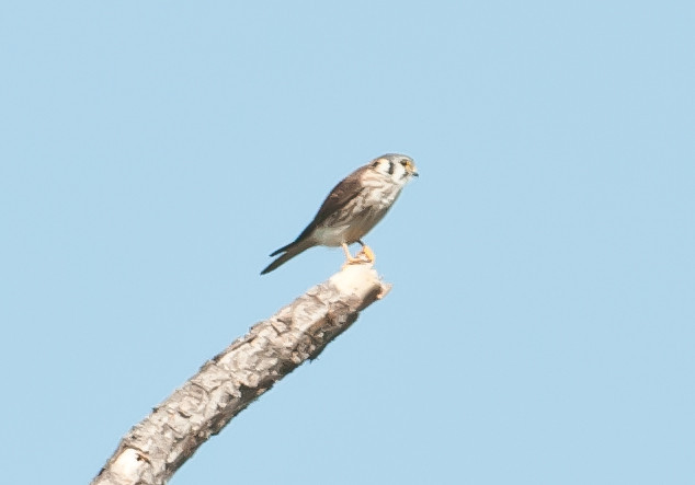 • Moccasin Island Tract<br /> • American Kestrel