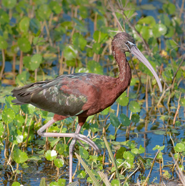 • Viera Wetlands<br /> • A Glossy Ibis out its walk