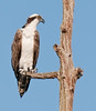 • Viera Wetlands<br /> • An Osprey looking for its next catch