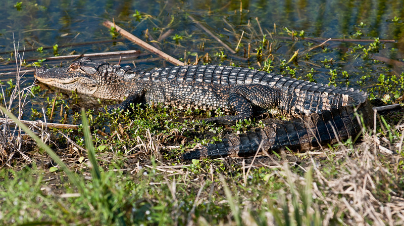 • Viera Wetlands<br /> • Just one of the many Alligators hanging out at the Wetlands