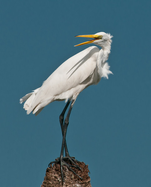 • Viera Wetlands<br /> • Great White Egret