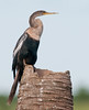 • Viera Wetlands<br /> • Female Anhinga