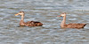 A pair of Mottled Duck on the move