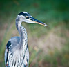 More an artistic portrait of the Great Blue Heron