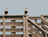Pair of Crested Caracara