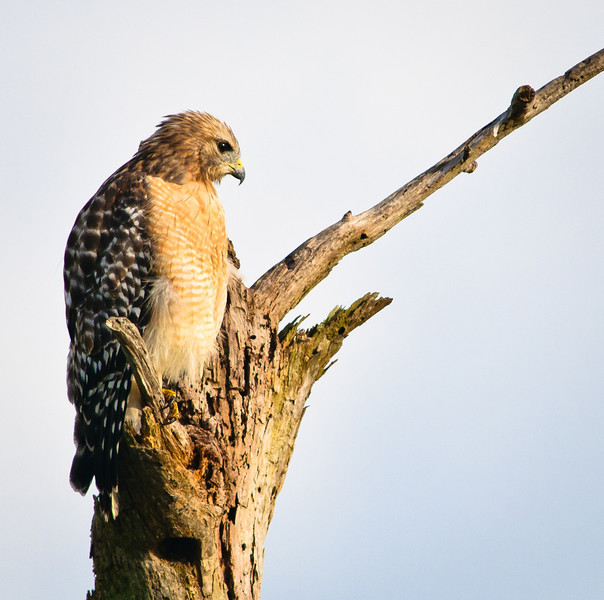 Red-shouldered Hawk - Looking for something to eat.