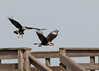 Pair Crested Caracara just taking off.