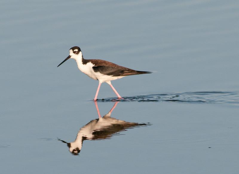 • Dan's Click Pond<br /> • Black-necked Stilt with its reflection