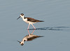 • Dan's Click Pond<br /> • Black-necked Stilt with its reflection