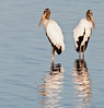 • Dan's Click Pond<br /> • Pair of Wood Storks posing for me with their reflections