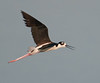 • Dan's Click Pond<br /> • Black-necked Stilt in flight