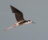 • Dan's Click Pond<br /> • Black-necked Stilt in flight