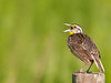 • Moccasin Island Tract<br /> • Yellow Meadowlark speaking its mind