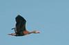 • Dan's Click Pond<br /> • Black-Bellied Whistling Duck