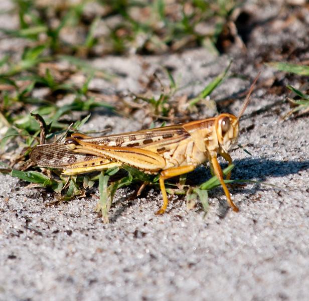 • Moccasin Island Tract<br /> • American Grasshopper