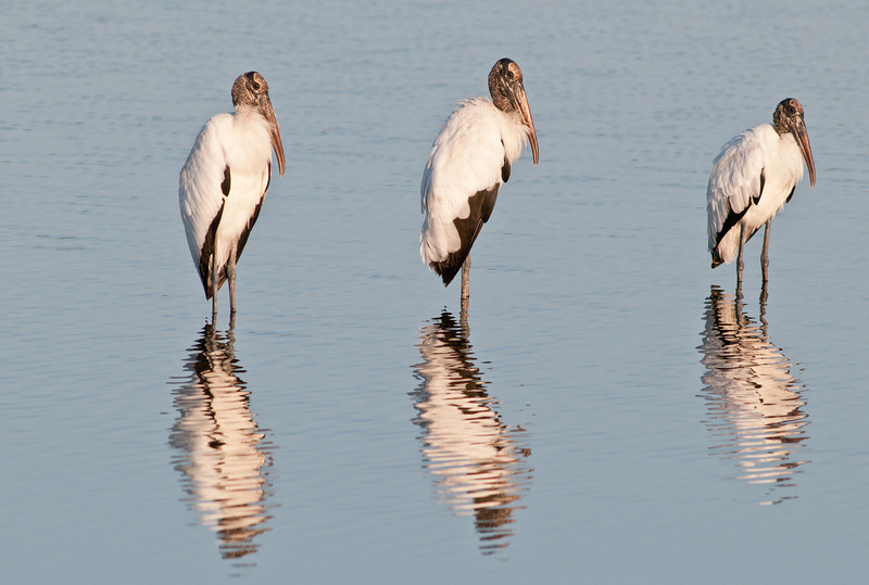 • Dan's Click Pond<br /> • A trio Wood Storks with their reflection