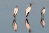 • Dan's Click Pond<br /> • A trio of Wood Storks with their reflection. The one in the center is speaking its mind