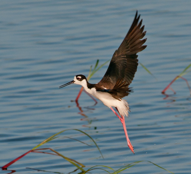 • Dan's Click Pond<br /> • Black-necked Stilt taking off