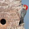 • Location - Viera Wetlands<br /> • Red-bellied Woodpecker - Just taking a breather from being inside the nesting hole.
