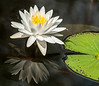 • Location - Cruickshank Sanctuary<br /> • White Water Lily