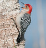 • Location - Viera Wetlands<br /> • Red-bellied Woodpecker - He is screaming for his mate to come back home
