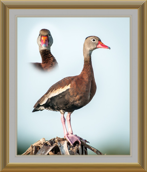 • Location - Viera Wetlands<br /> • Two different views of the Black Bellied Whistling Duck