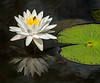 • Location - Cruickshank Sanctuary<br /> • White Water Lily with Bee in it