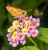 Fiery Skipper Moth