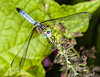 Blue Dasher Dragonfly - Pachydiplax longipennis