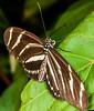 Zebra Longwing - <br /> Heliconius charithonia