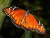Queen Butterfly - Danaus gilippus