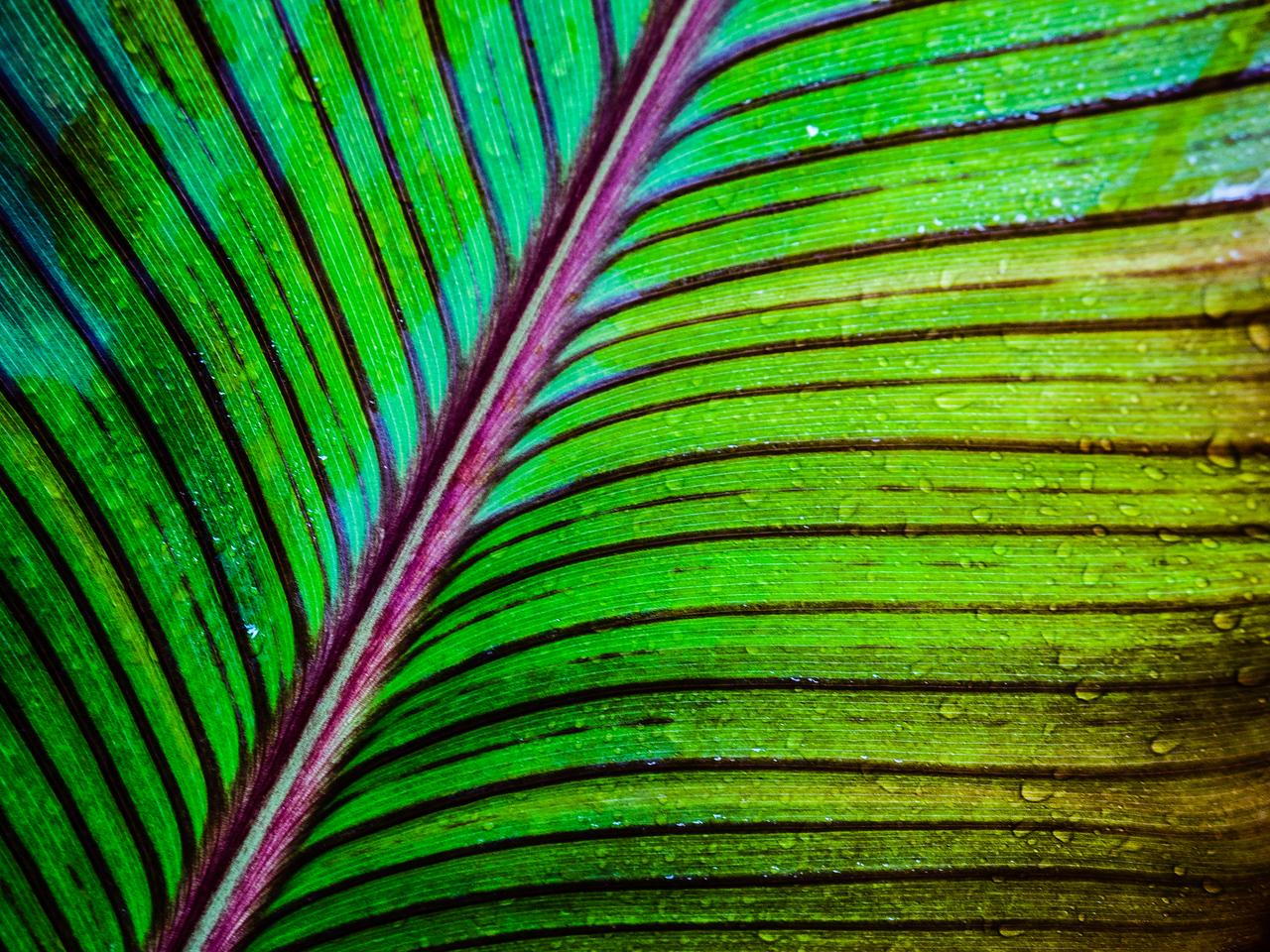 Canna Lily Leaf