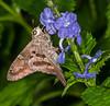 Spotted Skipper moth